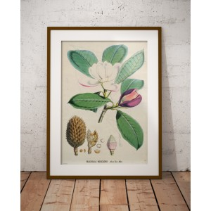 Lámina Magnolia hodgsonii